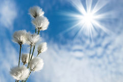 Cotton grass. Blooming cotton grass against  blue sky with clouds Stock Photography