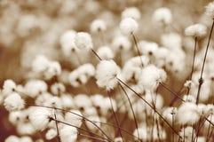 Cotton Grass Stock Image