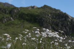 Cotton grass blowing in the breeze with a mountain background. stock images