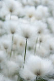 Cotton grass close-up Royalty Free Stock Photo