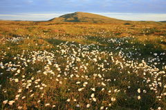 Cotton grass on moorland Royalty Free Stock Images