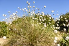 Cotton grass, Eriophorum angustifolium. The fruiting plant of the Cotton grass, Eriophorum angustifolium, blowing in the wind on moorland near Altnabreac royalty free stock photography