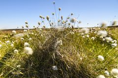 Cotton grass, Eriophorum angustifolium. The fruiting plant of the Cotton grass, Eriophorum angustifolium, blowing in the wind on moorland near Altnabreac stock photos