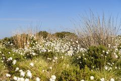 Cotton grass, Eriophorum angustifolium. The fruiting plant of the Cotton grass, Eriophorum angustifolium, blowing in the wind on moorland near Altnabreac royalty free stock photos