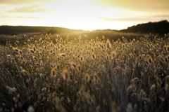 Cotton grass (Eriophorum) flowering coastal plants. New Zealand nature background Stock Images
