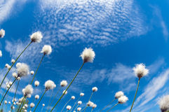 Cotton Grass. Flowering cotton grass on a background of blue sky Royalty Free Stock Photography