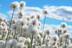 Cotton grass. Flowering cotton grass on  background of blue sky Stock Photos
