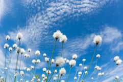 Cotton grass. Flowering cotton grass on a background of blue sky Royalty Free Stock Images