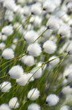 Cotton Grass. Royalty Free Stock Photos