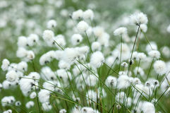 Cotton grass Royalty Free Stock Photos