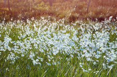 Cotton Grass Stock Images