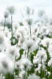 Cotton Grass. In the light of a bright sunny day Royalty Free Stock Photography