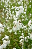 Cotton-grass Stock Photo