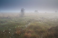 Cotton grass on marsh in dense fog Stock Images
