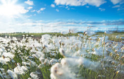 Cotton Grass. The plant cotton grass in the Siberian tundra at sunset sky background Stock Images