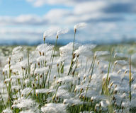 Cotton grass. Plant cotton grass in the wind  in  Siberian tundra Royalty Free Stock Images