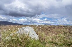 Cotton grass at Rannoch moor in the scottish highlands. Uk royalty free stock images