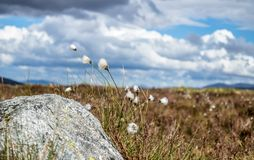 Cotton grass at Rannoch moor in the scottish highlands. Uk royalty free stock image