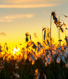 Cotton Grass. Stock Photos