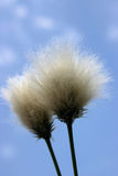 Cotton grass seedhead. White cottongrass against blue sky Stock Image