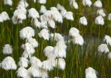 Cotton grass Stock Photo