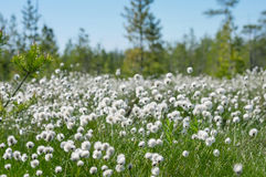 Cotton grass. Spring  bright landscape with blooming cotton grass Stock Photo