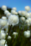 Cotton-grass. At spring day Stock Photography