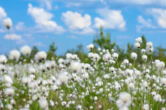 Cotton Grass. Summer bright landscape with blooming cotton grass Royalty Free Stock Photography