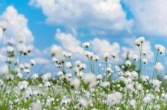 Cotton Grass. Summer bright landscape with blooming cotton grass Royalty Free Stock Photos