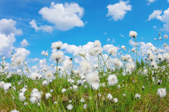 Cotton grass Stock Image