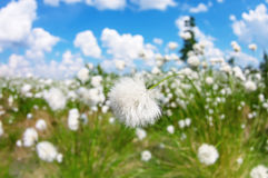 Cotton grass. Summer bright landscape with blooming cotton grass Stock Photography
