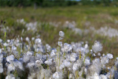 Cotton grass in the swamp Royalty Free Stock Photos