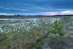 Cotton grass on swamp Royalty Free Stock Image