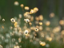 Cotton grass in the swamp. Nature background. stock photos