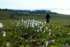 Cotton grass  on the tundra of Chukotka. Stock Photo