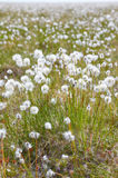 Cotton grass tundra Royalty Free Stock Image