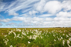 Cotton grass tundra Royalty Free Stock Photography