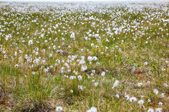 Cotton grass tundra Stock Images