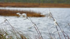 Cotton grass in the wind. Arctic cotton in strong wind in the Siberian tundra stock footage