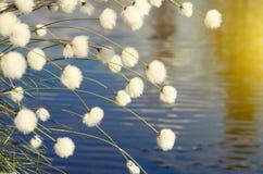 Cotton grass stock photos