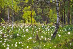 Cotton grass or Wollgras Royalty Free Stock Photos
