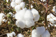 Cotton growing in field Royalty Free Stock Image