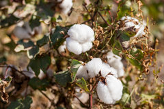 Cotton grows. Agriculture. Cotton on the plantation stock images