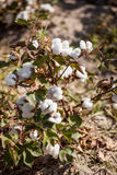 Cotton grows. Agriculture. Cotton on the plantation royalty free stock photography