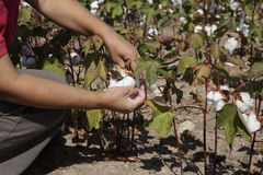 Cotton hand picked in field Stock Photography