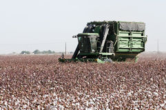 Cotton harvest. A cotton field is being picked during the fall harvest Royalty Free Stock Image