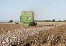 Cotton harvest. A cotton field is being picked during the fall harvest Stock Photo