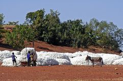 The cotton harvest Royalty Free Stock Photo