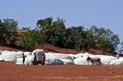 The cotton harvest Royalty Free Stock Photos