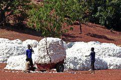 The cotton harvest Stock Image